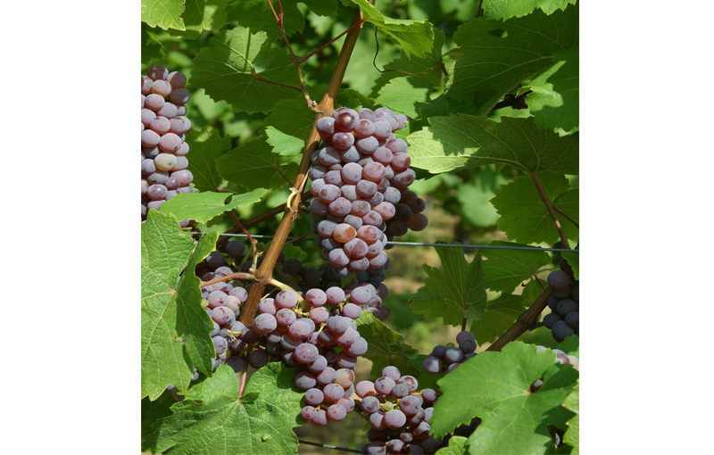 Riesling, Roter